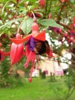bee in fuchsia flower