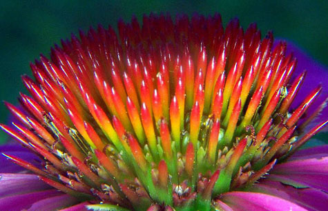 echinacea close-up