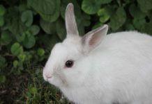 white rabbit - photo by Marko Milivojevic on Pixnio