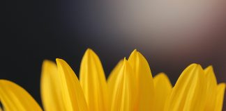 yellow flower petals suggesting optimism - photo by Sandy Millar on Unsplash