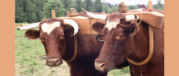 yoked oxen