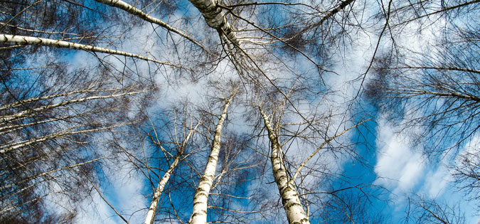 winter trees seen by looking up at sky