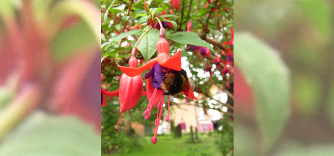 bee in fuchsia under CC BY 2.0