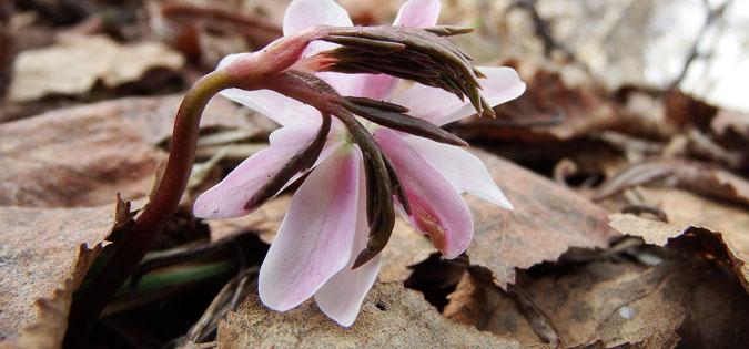 spring thaw flower - image by Natalia Kollegova