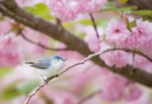 Bird in tree with pink flowers - photo by Ray Hennessy on Unsplash