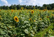 sunflowers - photo provided by Melinda LeBlanc