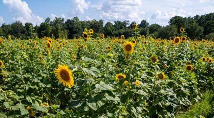 sunflowers - photo provided by Melinda LeBlanc