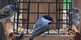 chickadee and other birds at feeder - photo by Grayson Smith on Unsplash