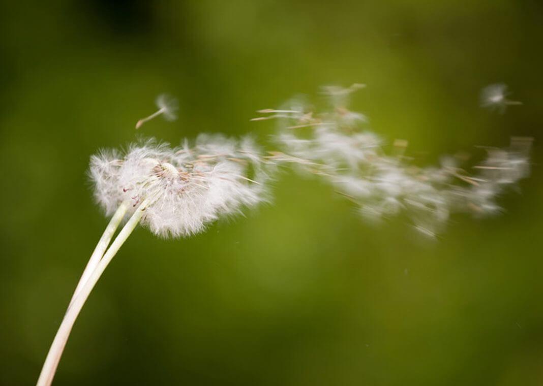 dandelion in wind - photo by Ivica Drusany/Shutterstock
