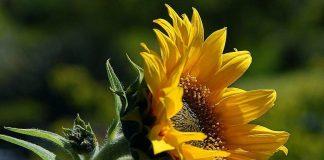 sunflower - photo by Jon Sullivan on Pixnio