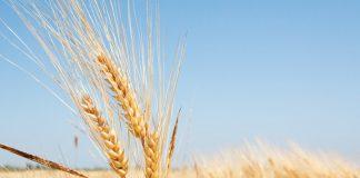 wheat field by CT757fan/iStock/Getty Images